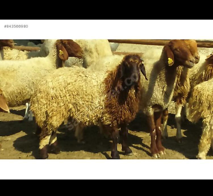 Koyun - Üretici Abdullah Alperen 1100 tl fiyat ile 35 adet i̇vesi çeşidi koyun satmak istiyor