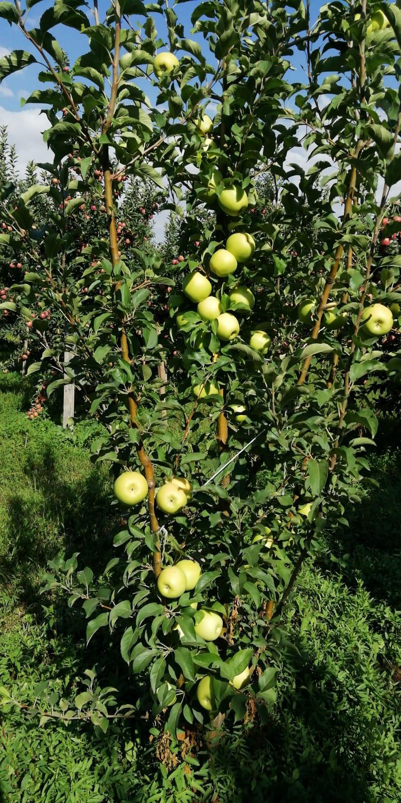Isparta Gelendost Satılık Elma