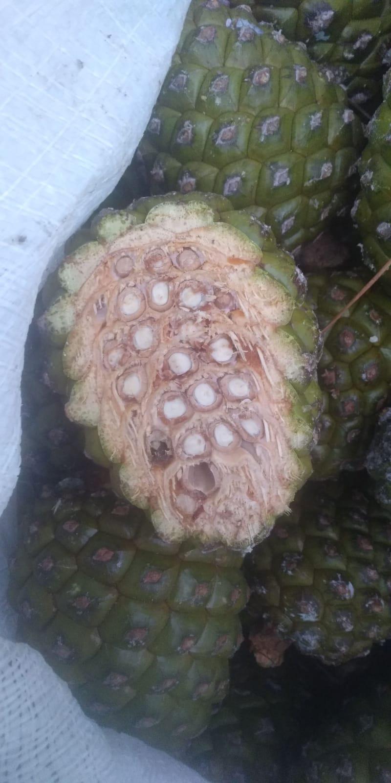 Çam Fıstığı - Bahtiyar Ece 500.000 kilogram çam fıstığı almak istiyor