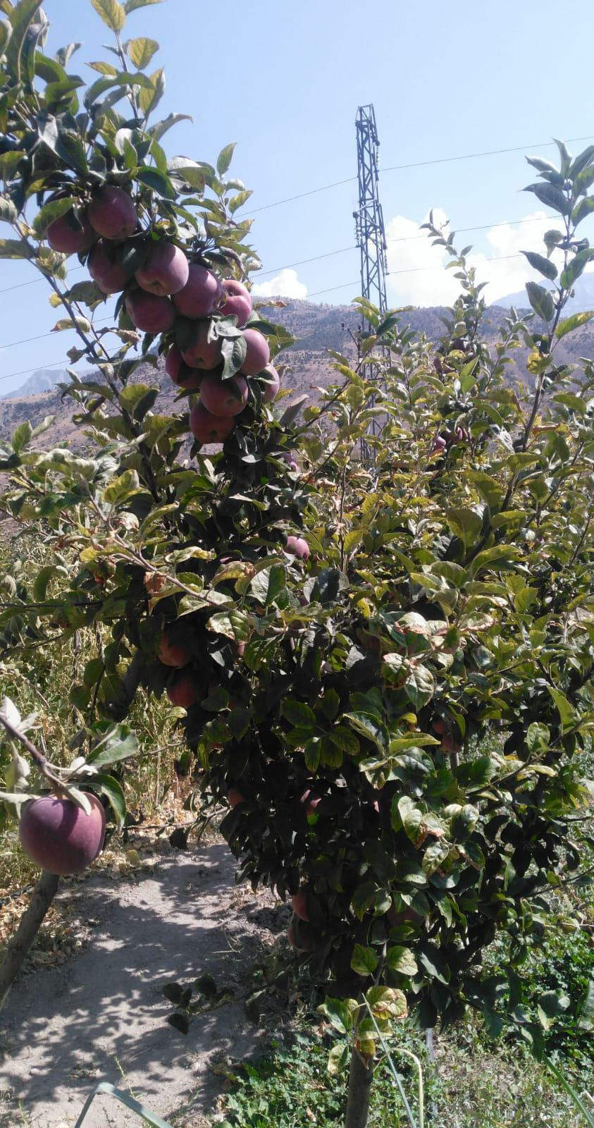 Elma - Üretici Akif Kocaduru 3.5 tl fiyat ile 4.000 kilogram starking delicious çeşidi elma satmak istiyor