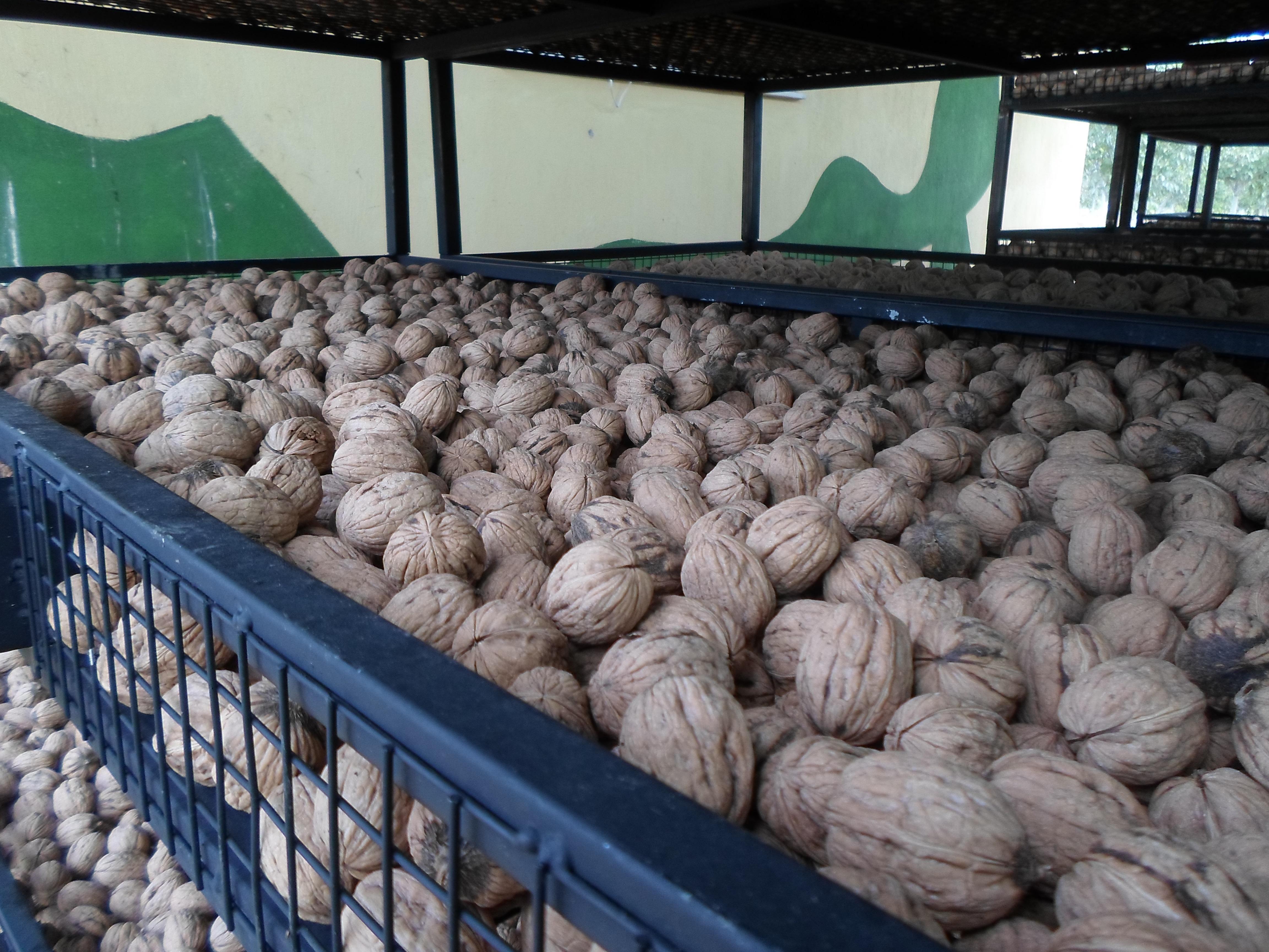 Ceviz - Üretici H. Hüseyin Sezgin 34 tl fiyat ile 1.000 kilogram chandler çeşidi ceviz satmak istiyor