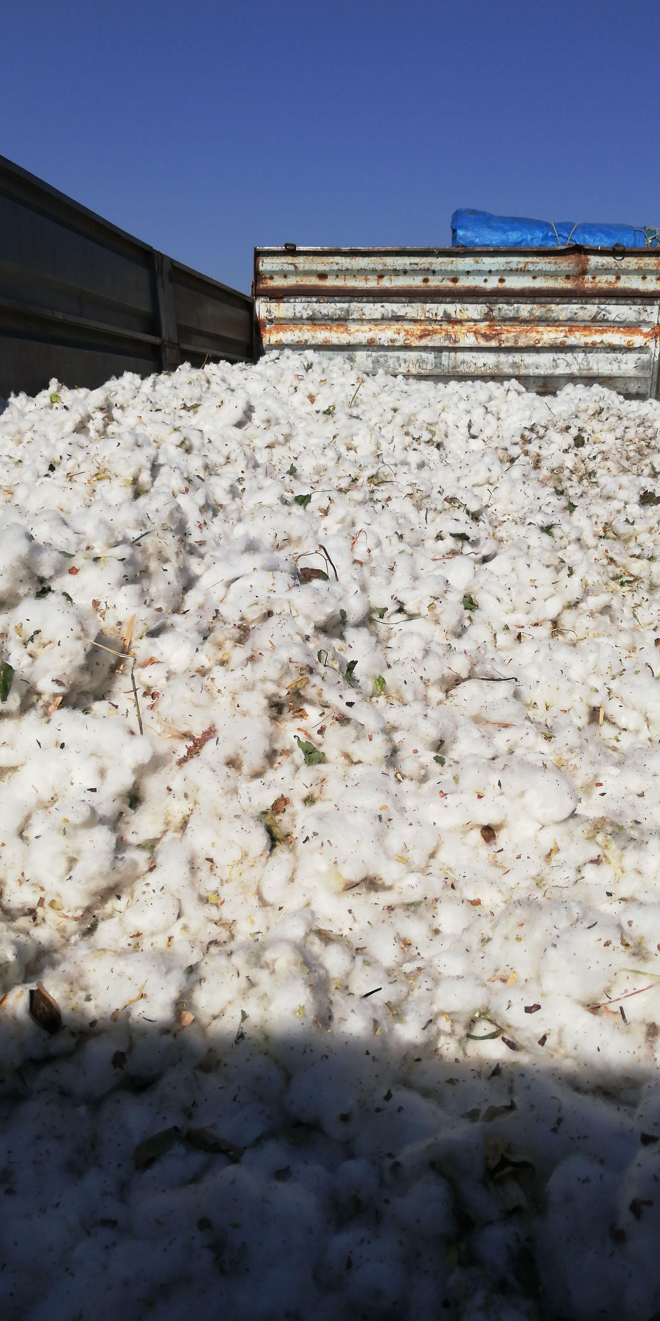 Pamuk - Üretici Mesut Ekinci 7 tl fiyat ile 7.000 kilogram lima çeşidi pamuk satmak istiyor
