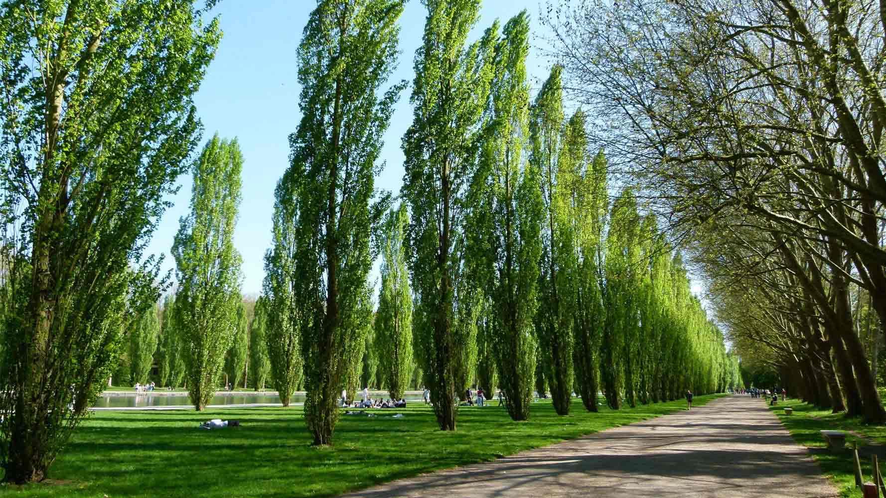 Kavak ağacı fiyatları,Kavak ağacı piyasası, Kavak ağacı resmi