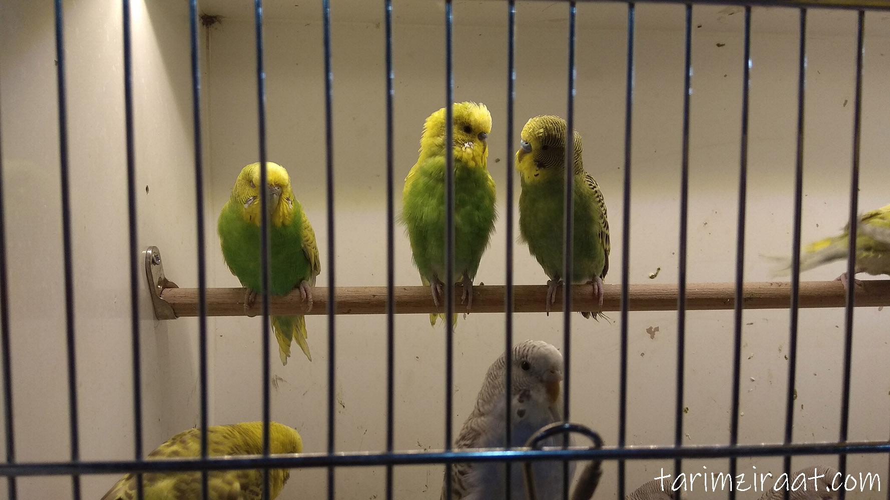 Muhabbet Kuşu fiyatları,Muhabbet Kuşu piyasası, Muhabbet Kuşu resmi